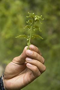 Trail fern