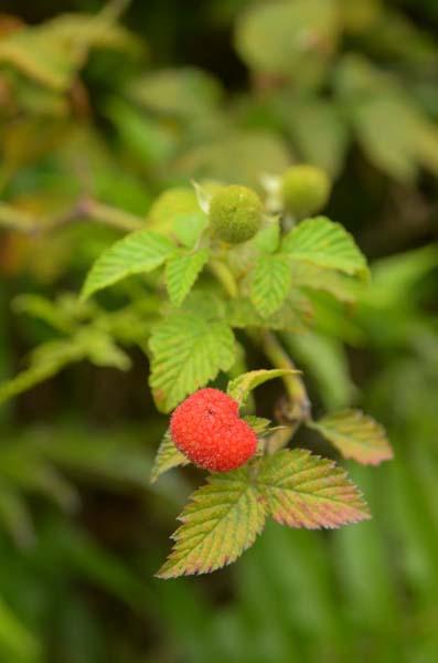 Pa Lungan Raspberry
