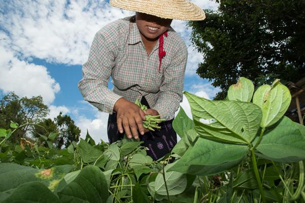 Picking Beans Shan State