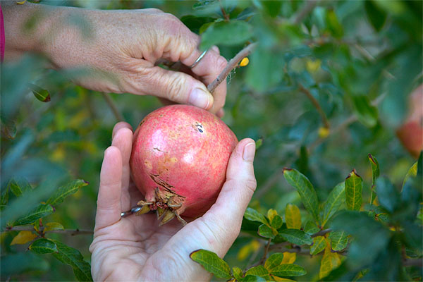 Picking pomegranate