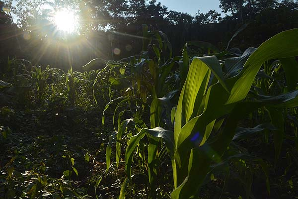Belize corn is forest
