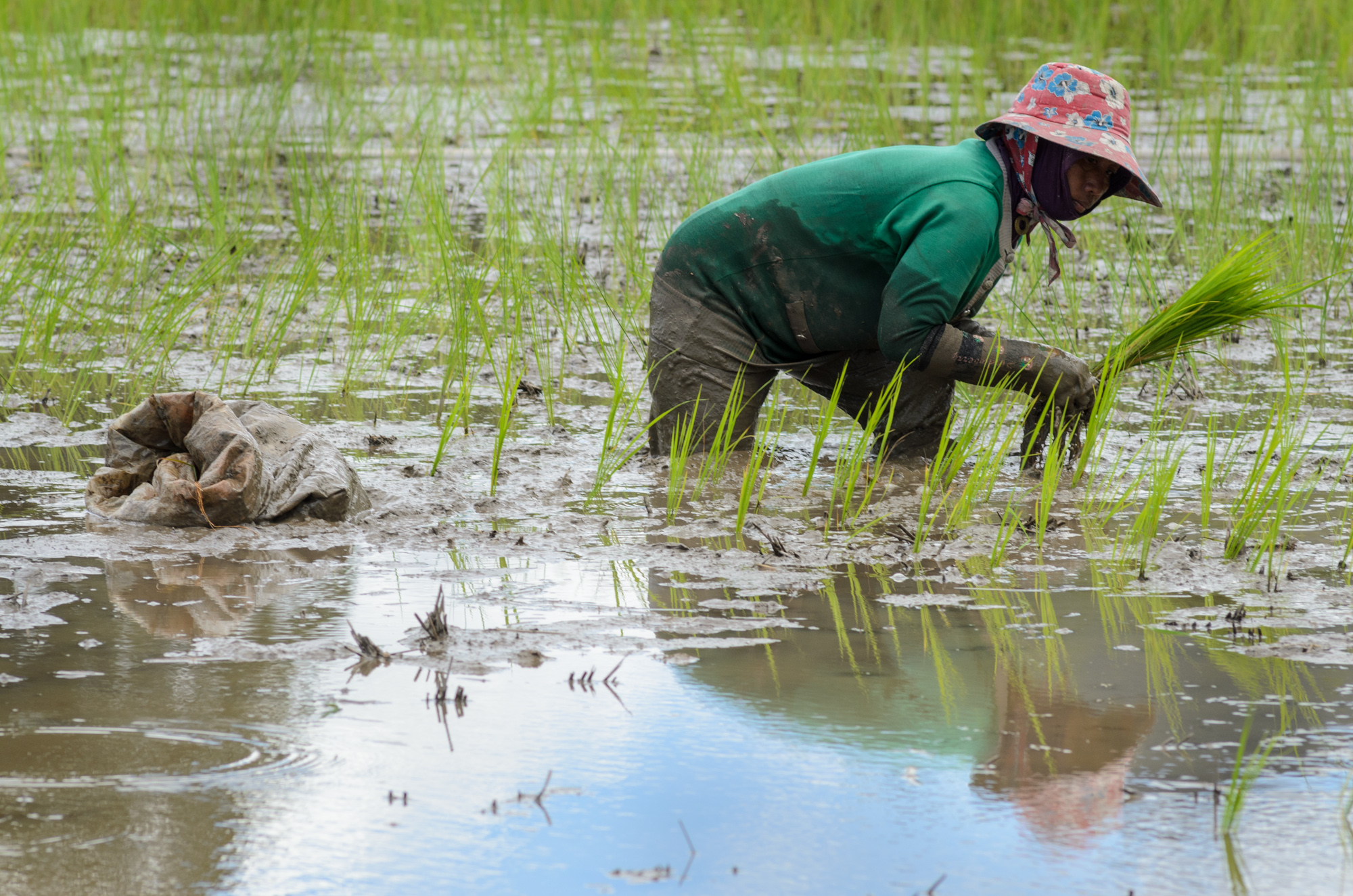 A woman replants paddy rice by hand in Bario, in the Kelabit Highlands of Malaysia. A logging road has brought many changes to the Kelabit people of the interior highlands of Sarawak in Malaysia. One of the biggest shifts is mechanized rice growing, which is changing how the grain has been grown for generations.  -Photo ©2013/Jerry Redfern
