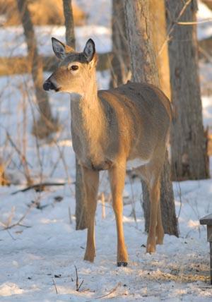 Kitchen deer