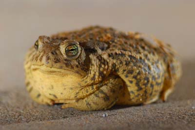 Rocky Mountain toad
