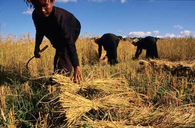 Shan harvesters