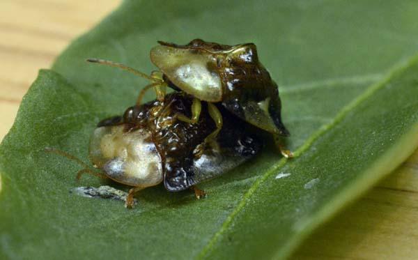 Pepper bugs