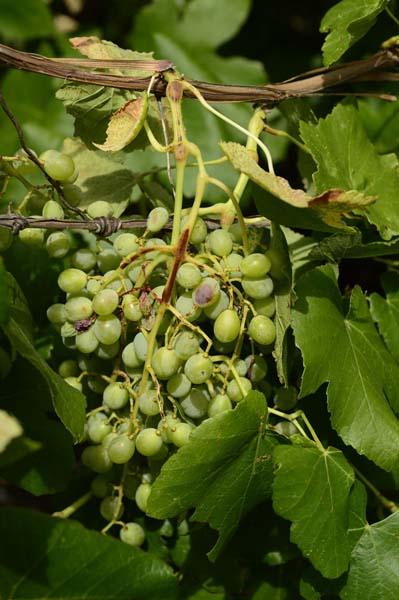 Spotty grapes 2