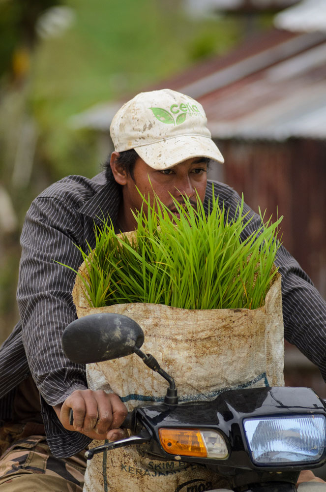 A worker with Ceria carries a bag of paddy rice for transplant in Bario, in the Kelabit Highlands of Malaysia. Cherry has brought mechanized rice cultivation to the highlands. A logging road has brought many changes to the Kelabit people of the interior highlands of Sarawak in Malaysia. One of the biggest shifts is mechanized rice growing, which is changing how the grain has been grown for generations.  -Photo ©2013/Jerry Redfern