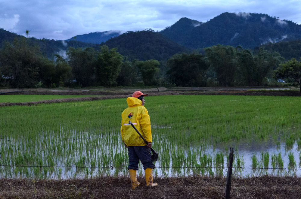 A farmer looks at his rice fields at dusk in the Kelabit Highlands of Malaysia. A logging road has brought many changes to the Kelabit people of the interior highlands of Sarawak in Malaysia. One of the biggest shifts is mechanized rice growing, which is changing how the grain has been grown for generations.  -Photo ©2013/Jerry Redfern